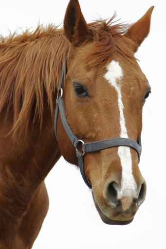 Cheval Tete horse & cow | robes et marques